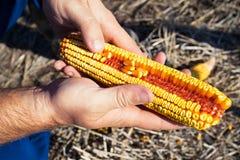 拿着玉米棒子的农夫 免版税库存照片