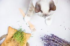 拿着生态一次性木叉子顶面平的布局的白色猫 免版税库存图片
