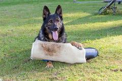 拿着由爪子perfector叮咬袖子的德国牧羊犬狗 免版税图库摄影