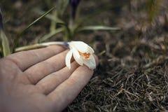 拿着白色番红花的手 库存照片
