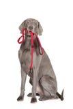 拿着皮带的Weimaraner狗 库存照片