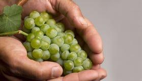拿着真正的葡萄的真正的手 免版税库存照片