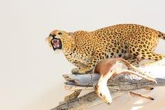 拿着瞪羚的被充塞的非洲豹子 免版税库存照片