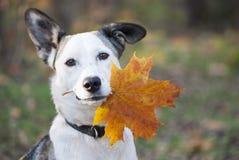 拿着秋天黄色叶子的逗人喜爱的混杂品种狗 免版税库存图片