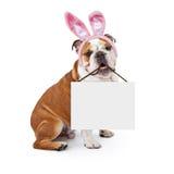 拿着空白的标志的复活节兔子牛头犬 免版税图库摄影