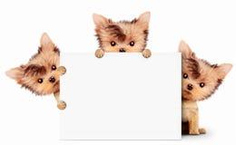 拿着空的横幅的滑稽的狗,隔绝在白色 免版税库存照片