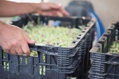 拿着箱子的男性手有很多成熟橄榄 免版税库存照片