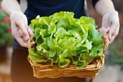 拿着篮子用有机黄油莴苣的手 库存图片