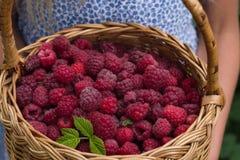 拿着篮子的小女孩有很多新鲜的有机莓 特写镜头夏天红色莓果 库存照片