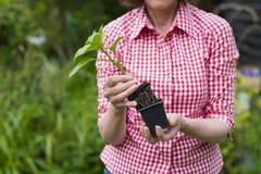 拿着罐的资深妇女特写镜头一棵植物 免版税库存照片