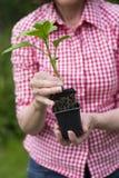 拿着罐的资深妇女特写镜头一棵植物 免版税库存图片