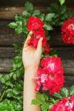 拿着美丽的紫色桃红色玫瑰的妇女手 行家女孩感人的惊人的秀丽花 文本的空间 从事园艺的夏天 免版税库存照片