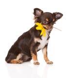 拿着花的奇瓦瓦狗狗 库存照片