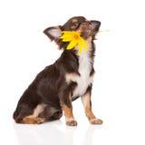 拿着花的奇瓦瓦狗狗 免版税库存照片
