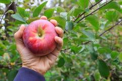 拿着苹果的手 免版税库存照片