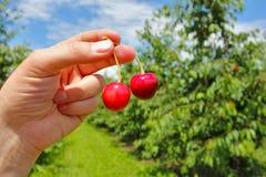 拿着莓果的人手中 库存图片