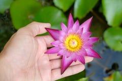 拿着莲花的手waterlily 免版税库存图片