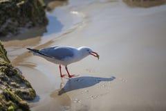 拿着螃蟹的海鸥 免版税图库摄影
