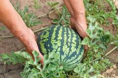 拿着西瓜的手在庭院里 库存图片