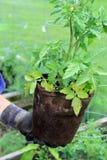 拿着西红柿的妇女的手在菜园里。 库存图片