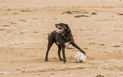 拿着足球的狗在海滩边 免版税库存照片