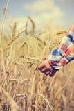 拿着金黄麦子钉的儿童手特写镜头 免版税库存照片