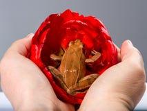 拿着青蛙,那的两只手在红色郁金香的开花坐 库存照片