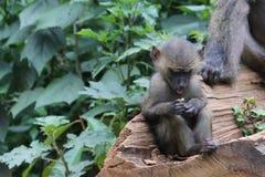 拿着食物的狒狒青年时期 库存照片