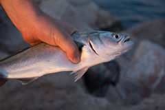 拿着鱼的手 免版税库存图片