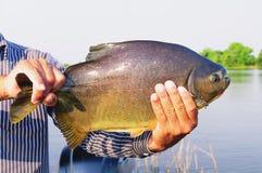 拿着鱼的渔夫的手叫作Pacu 库存图片