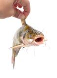 拿着鲶鱼被隔绝 免版税库存图片