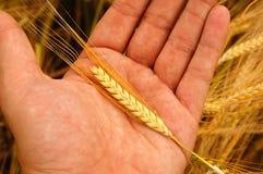 拿着麦子 免版税库存照片