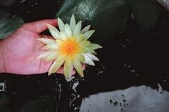 拿着黄色莲花的手或waterlily 免版税库存图片