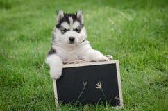 拿着黑人委员会的逗人喜爱的西伯利亚爱斯基摩人小狗 免版税图库摄影