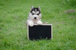 拿着黑人委员会的逗人喜爱的西伯利亚爱斯基摩人小狗 免版税库存图片