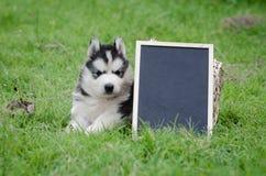 拿着黑人委员会的逗人喜爱的西伯利亚爱斯基摩人小狗 库存照片