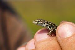 拿着巴尔干墙壁蜥蜴的爬虫学家 免版税图库摄影