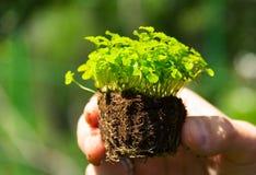 拿着年幼植物的男性手 农业 免版税库存图片
