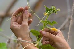 拿着黄瓜的分支花匠的手在庭院里 免版税图库摄影