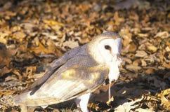 拿着死的老鼠,在湖, KY之间的土地的谷仓猫头鹰特写镜头 免版税库存图片