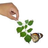 拿着绿色植物的手 免版税图库摄影