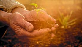 拿着绿色年幼植物在阳光下的老农民手发出光线 库存图片