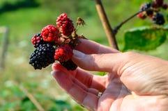 拿着黑莓的妇女 库存照片