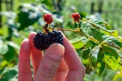 拿着黑莓的妇女 免版税图库摄影