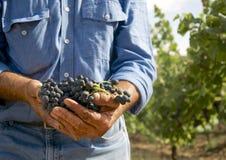 拿着黑葡萄的一位老农夫的手 免版税图库摄影