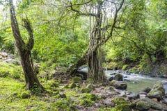 巴拿马的dschungle的河 库存图片
