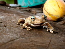 巴拿马青蛙 库存图片