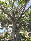 拿骚巴哈马-树 库存照片