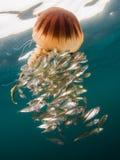 指南针水母,柯桠素hysoscella和baitfish 免版税库存照片