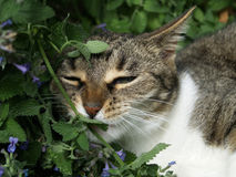 指向猫薄荷的猫 库存照片